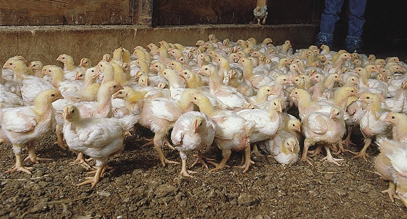 Healthy chickens