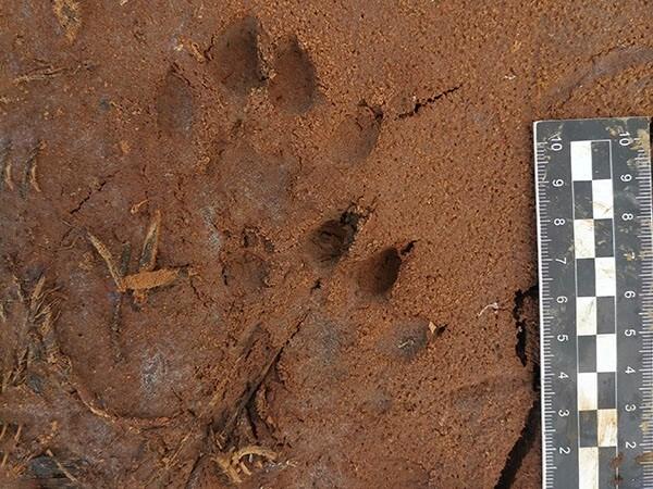 Animal Footprints measurement