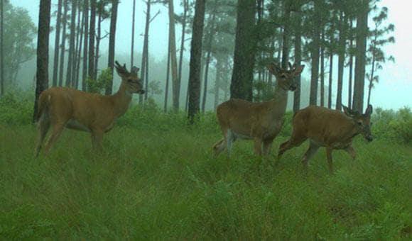 NCMNS: Group of Deer