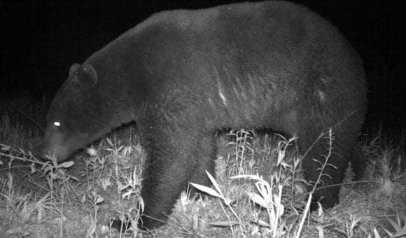 NCMNS: Bear