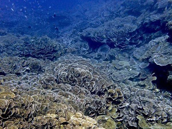 Healthy corals at the base of an active volcano, Banda Islands, Maluku, Indonesia.
