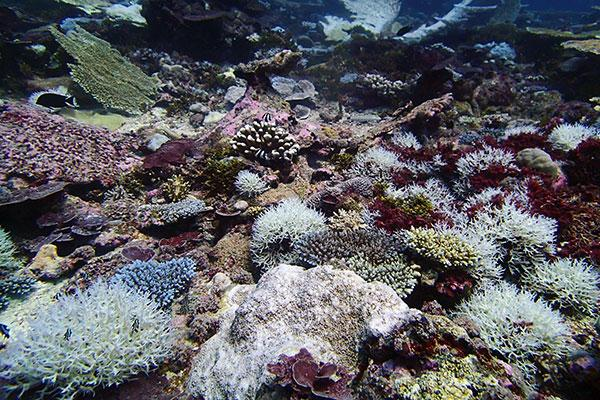 Mass coral bleaching in the Peros Banhos region of the Chagos Archipelago in the Indian Ocean, summer 2015.