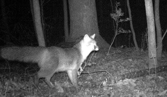 NCMNS: Fox