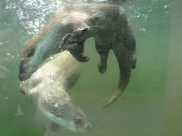 Otters swimming