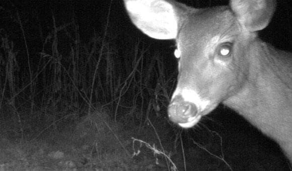 NCMNS: Deer