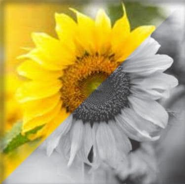 Sunflower color and grayscale