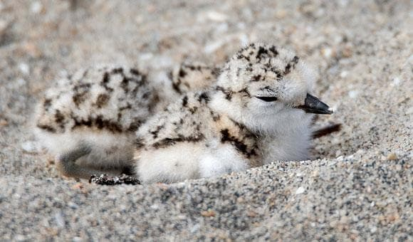 San Diego Zoo: Plover Chick
