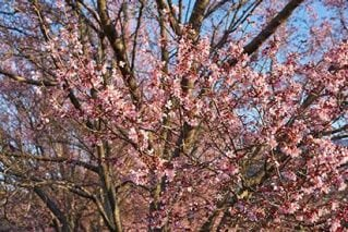 桜開花予想に用いる「600度の法則」を検討する